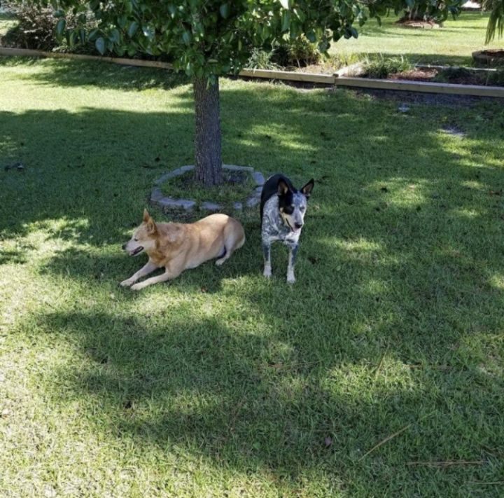 Cowboy and Nola, an adoptable Australian Cattle Dog / Blue Heeler in Fort Mill, SC