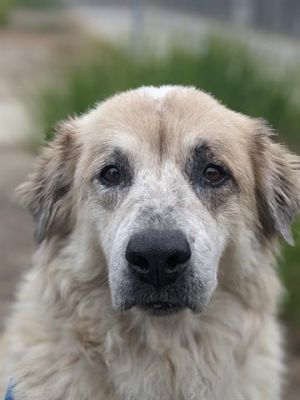 GENERAL Great Pyrenees Dog