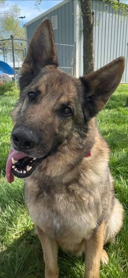 Liam, an adoptable German Shepherd Dog in Jefferson City, MO_image-4