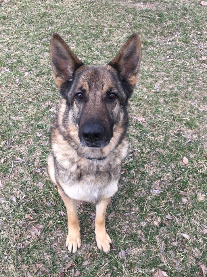 Liam, an adoptable German Shepherd Dog in Jefferson City, MO
