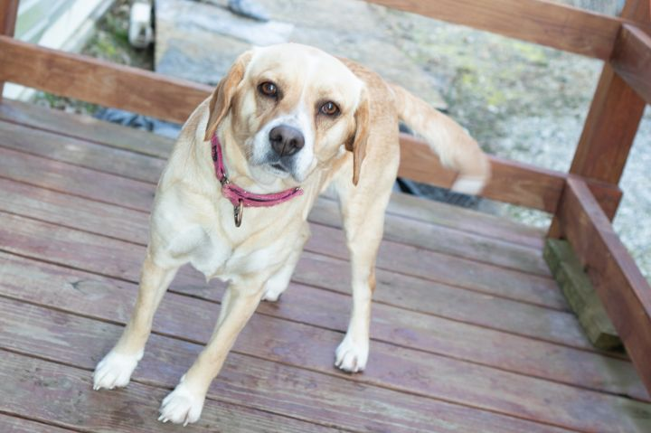Honey, an adoptable Mixed Breed in Cape Girardeau, MO