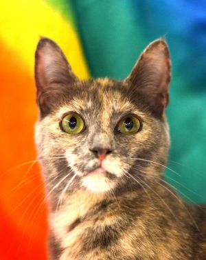 Mitzi is a 5 month old Dilute Tortoiseshell kitten with a sweet loving and calm personality