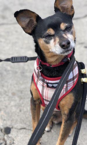 Riley Chihuahua Dog