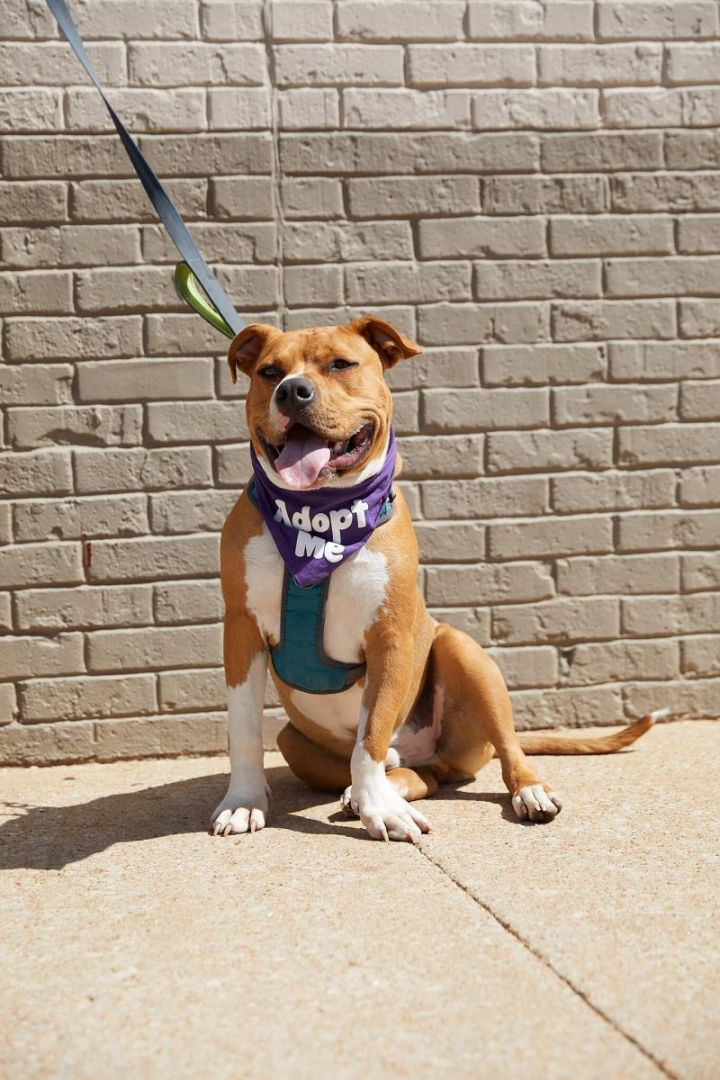 Arfy C., an adoptable Pit Bull Terrier Mix in Springfield, MO