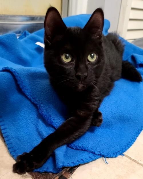 Laken, an adoptable Domestic Short Hair in Monroe, MI