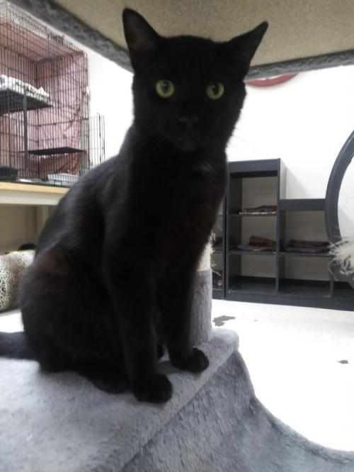 Mickey, an adoptable Domestic Short Hair in Monroe, MI