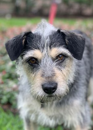 Triscuit Wirehaired Terrier Dog