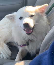 SuzyQ-Adopted!, an adopted American Eskimo Dog in Saint Louis, MO