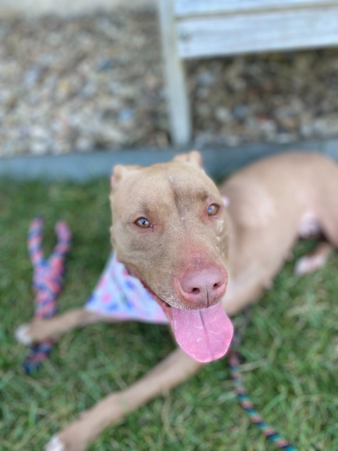 DOT (ROXY), an adoptable Pit Bull Terrier in Wintersville, OH