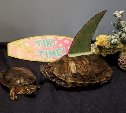 Clarice & Hannibal, an adoptable Red-Eared Slider in Bellingham, WA