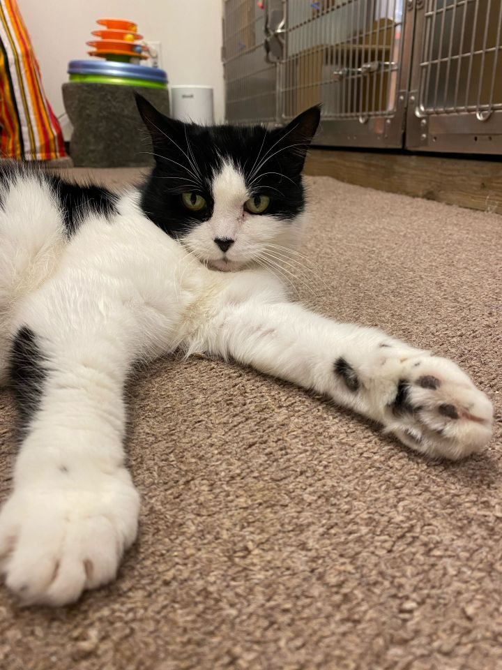 Tinsel, an adopted Domestic Short Hair in Norwalk, CT