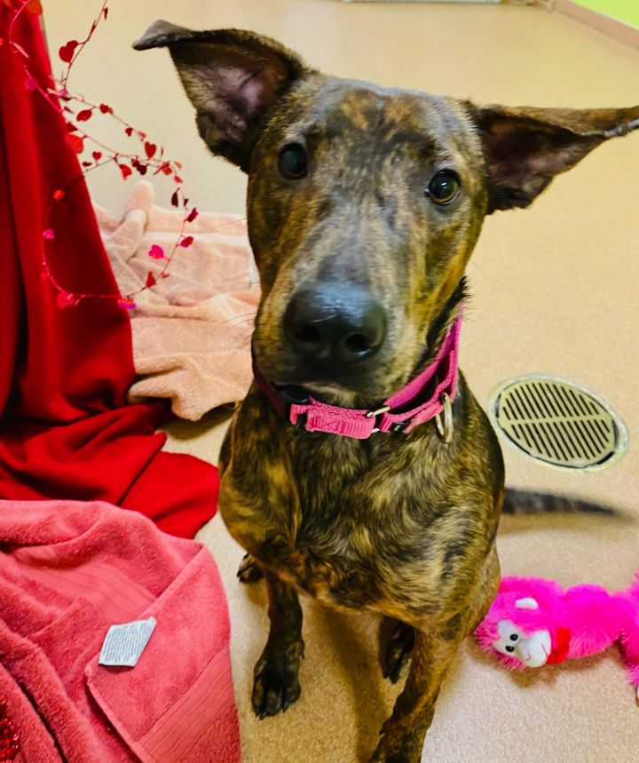 Marcie, an adopted Tennessee Treeing Brindle Mix in Norwalk, CT