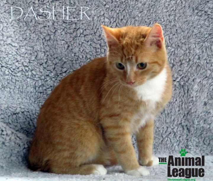 Dasher, an adoptable Domestic Short Hair Mix in Clermont, FL