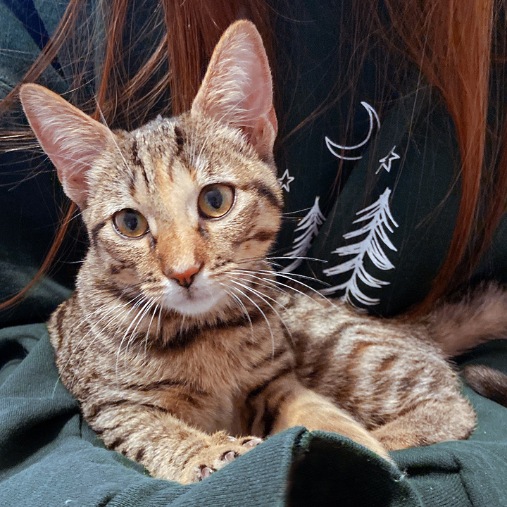 Charlie, an adopted Tabby in Redlands, CA