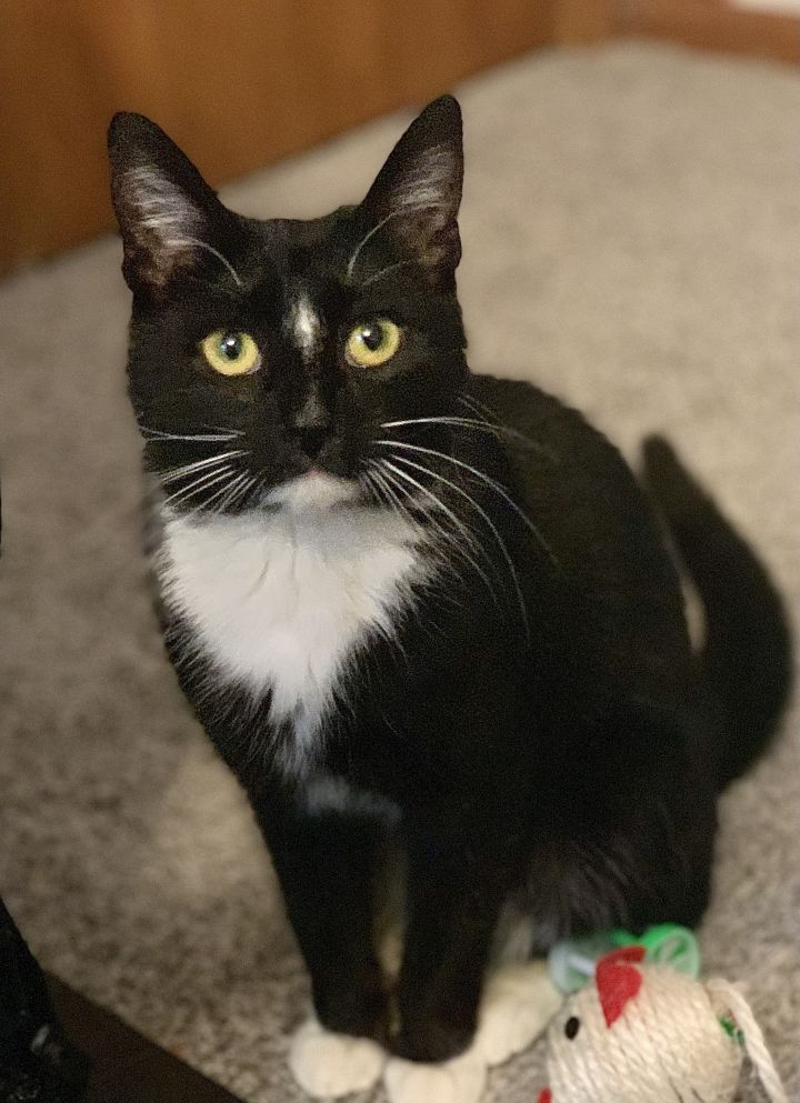Mimi, an adopted Domestic Short Hair in Omaha, NE