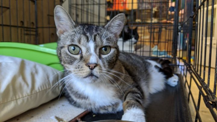 Serrano, an adoptable Domestic Short Hair in Windsor, CT