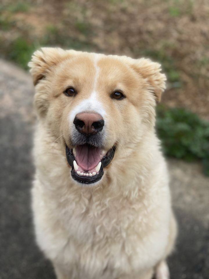 Jeffrey, an adopted Golden Retriever Mix in New Canaan, CT