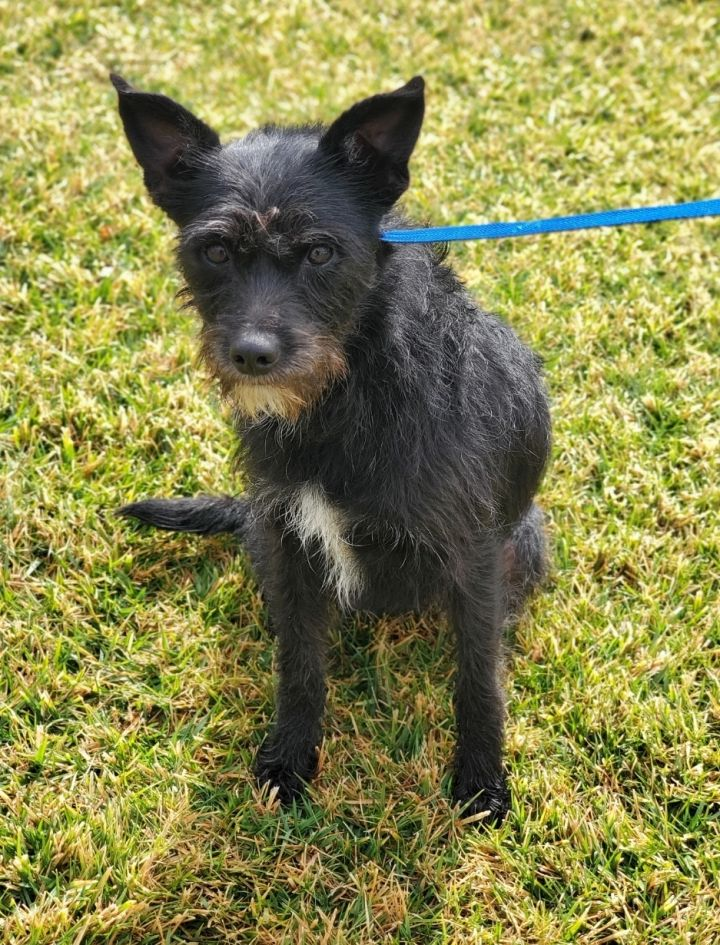 Bernice, an adopted Border Terrier & Schnauzer Mix in Riverside, CA_image-4