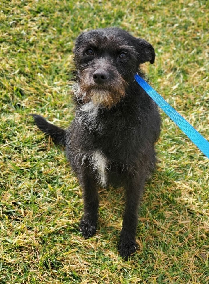 Bernice, an adopted Border Terrier & Schnauzer Mix in Riverside, CA_image-1
