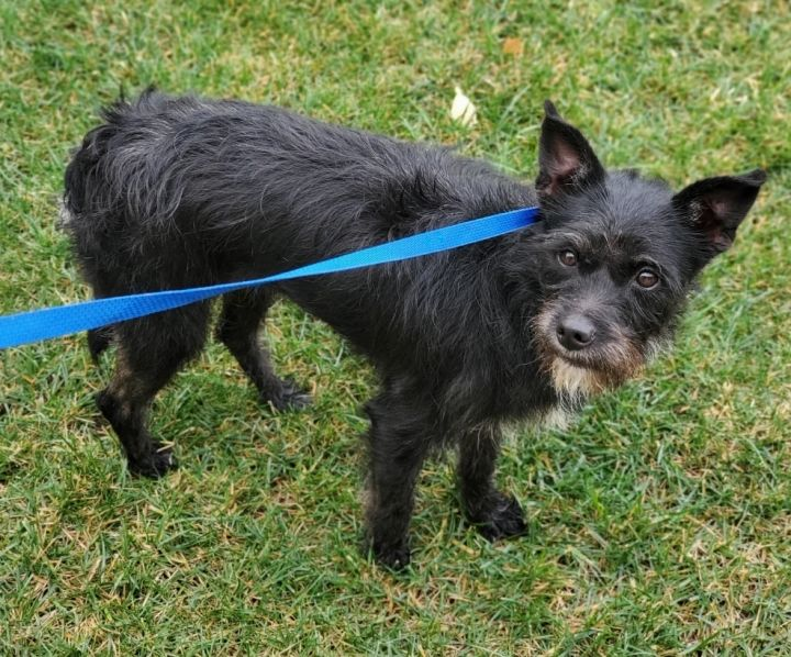Bernice, an adopted Border Terrier & Schnauzer Mix in Riverside, CA_image-6