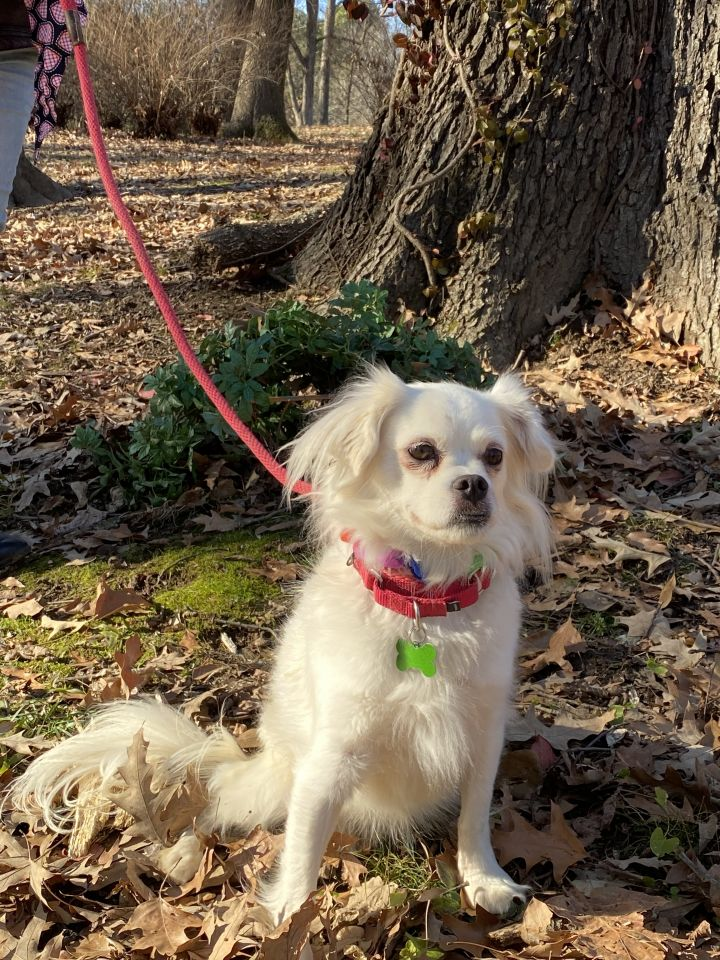 Shelby, an adopted Pekingese & Papillon Mix in Amston, CT