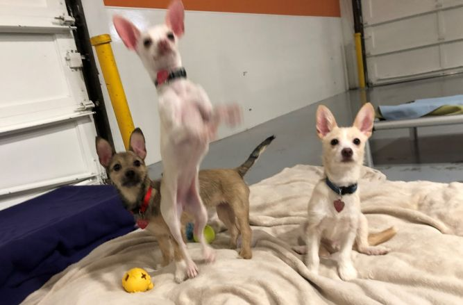 Chihuahua/Terrier puppies