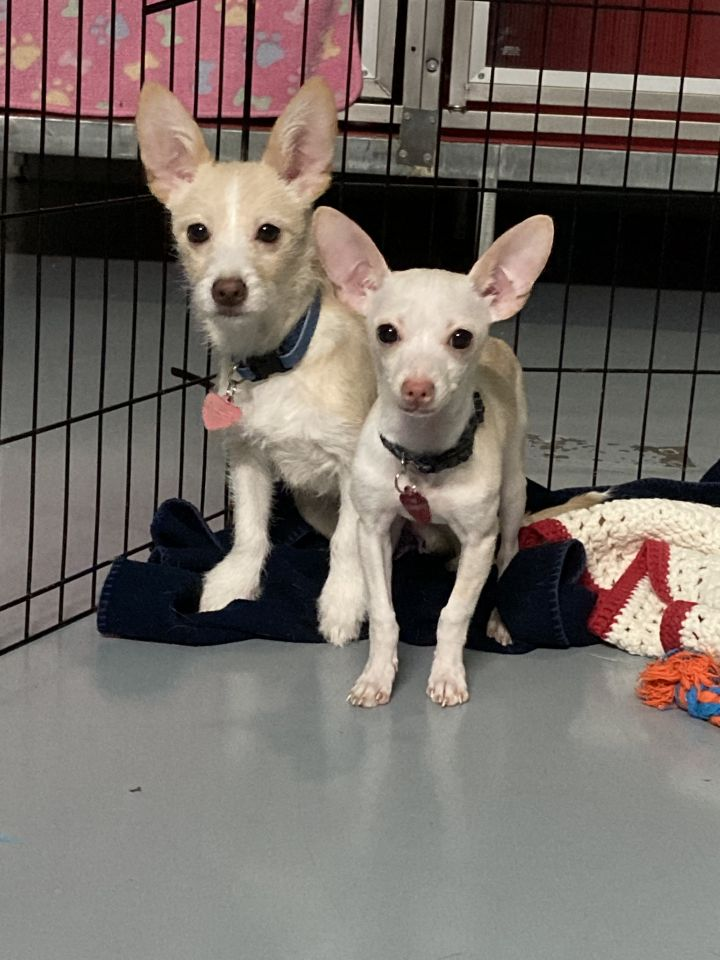 Chihuahua/Terrier puppies 3