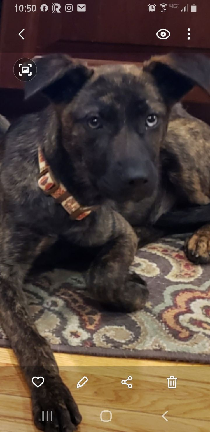 Lily, an adopted Dutch Shepherd Mix in Bedford, NY