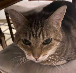 Joan Tabby Cat