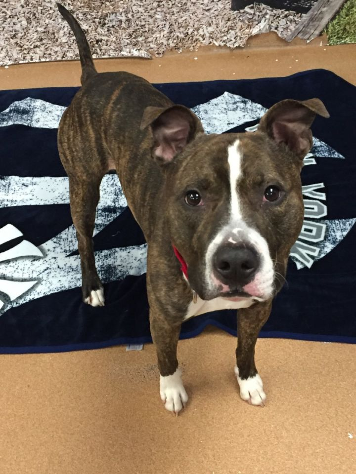 Tank, an adopted Pit Bull Terrier Mix in Norwalk, CT