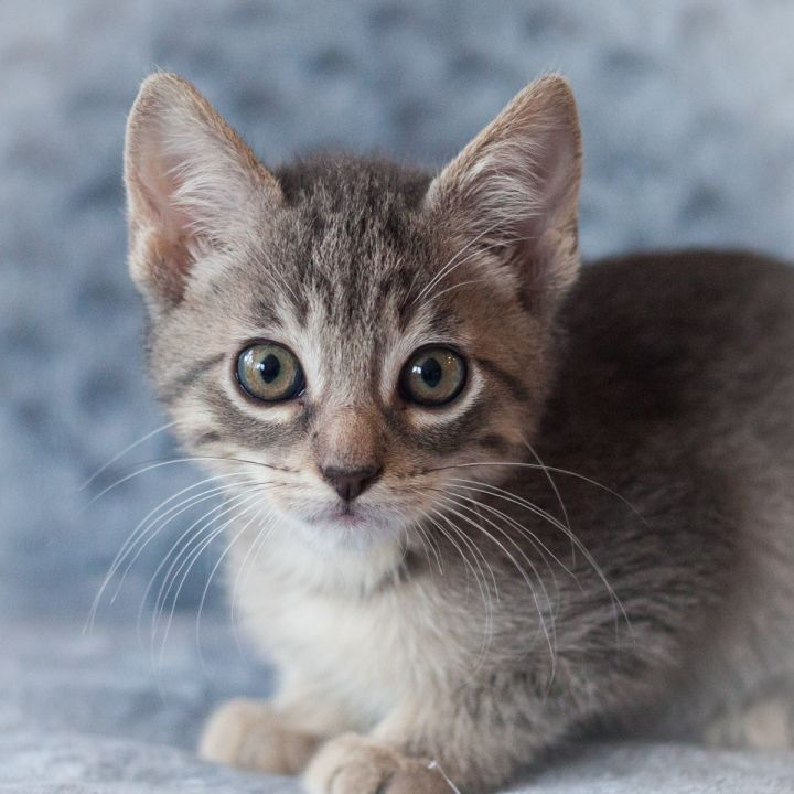 Elijah, an adopted Domestic Short Hair in Ponte Vedra, FL_image-1