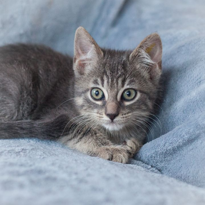 Ellis, an adopted Domestic Short Hair in Ponte Vedra, FL_image-2