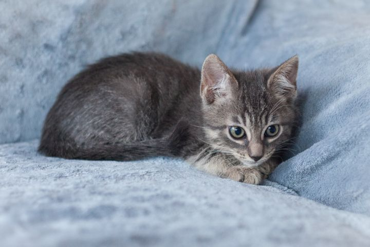 Ellis, an adopted Domestic Short Hair in Ponte Vedra, FL_image-3