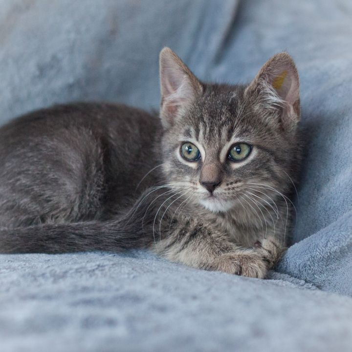 Ellis, an adopted Domestic Short Hair in Ponte Vedra, FL_image-4