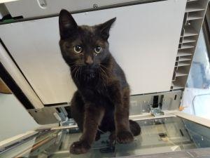 Valentina Burmese Cat