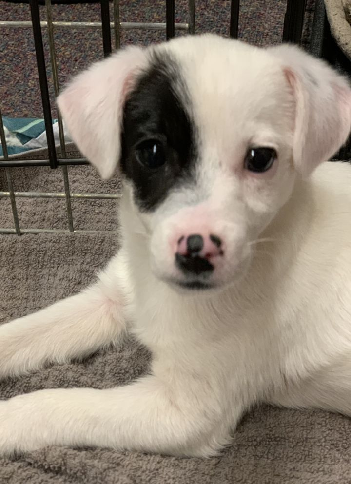 Phoenix, an adopted Jack Russell Terrier Mix in Omaha, NE