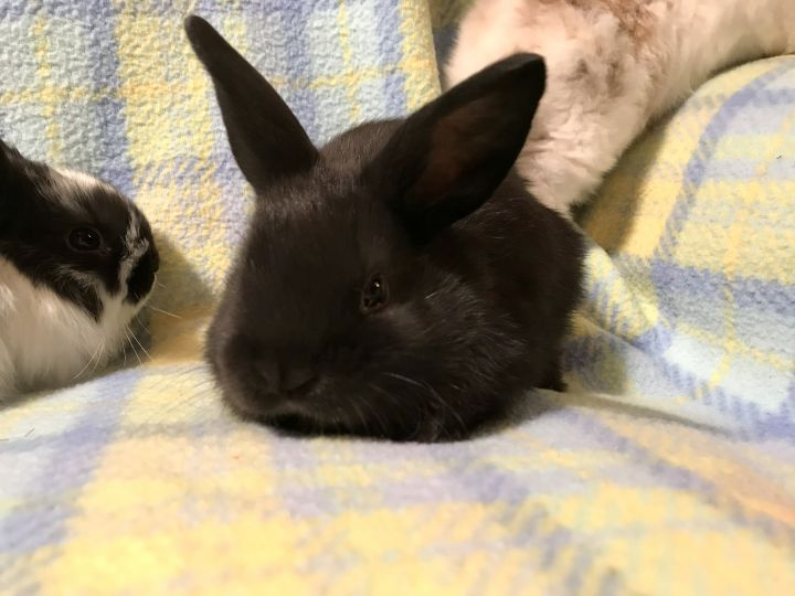 Babies male and female, an adopted Holland Lop & Mini Rex Mix in Wallingford, CT
