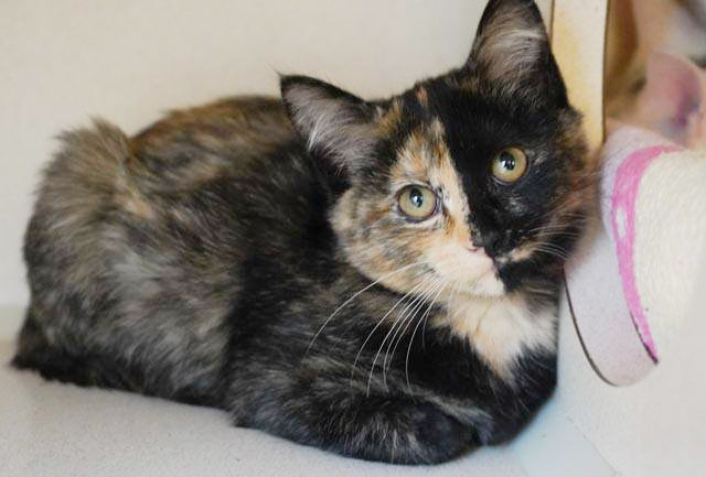 Macy is a little doll - what a face!!, an adopted Tortoiseshell in South Salem, NY