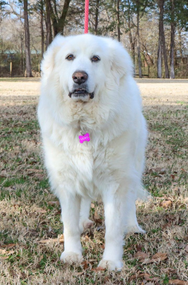 Venus, an adopted Great Pyrenees in East Windsor, CT