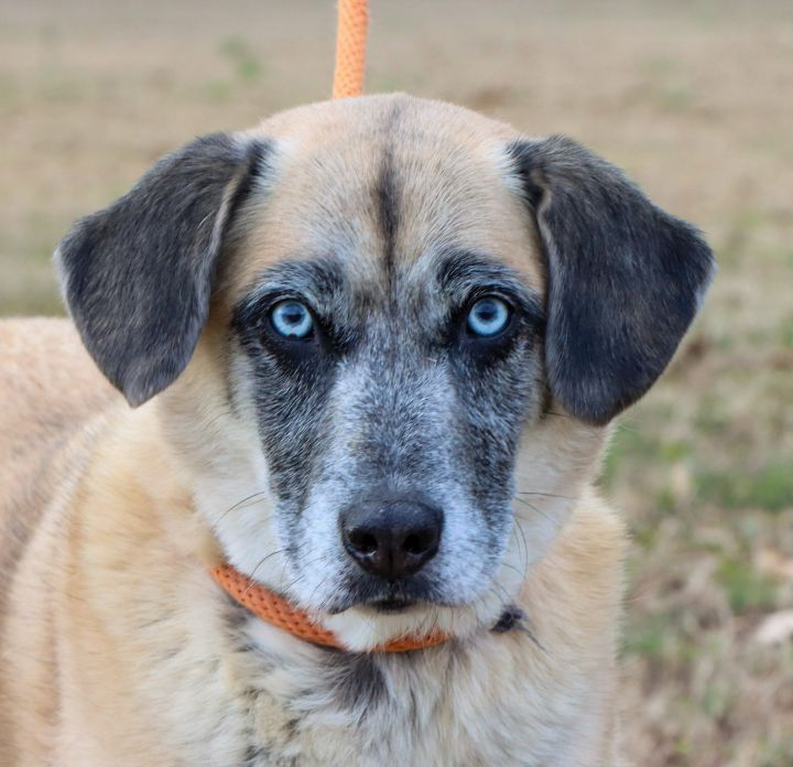 Bucky, an adopted Anatolian Shepherd Mix in East Windsor, CT