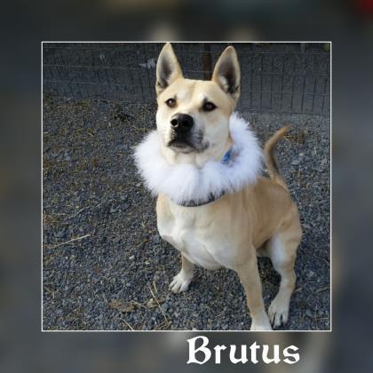 Brutus 1