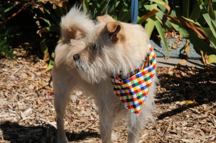 Tanner, an adoptable Terrier Mix in Jamestown, CA_image-4