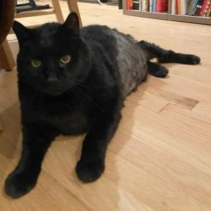 Taylor is simply the biggest cat his foster has ever seen He came into care of