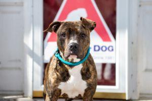 Lafayette Pit Bull Terrier Dog