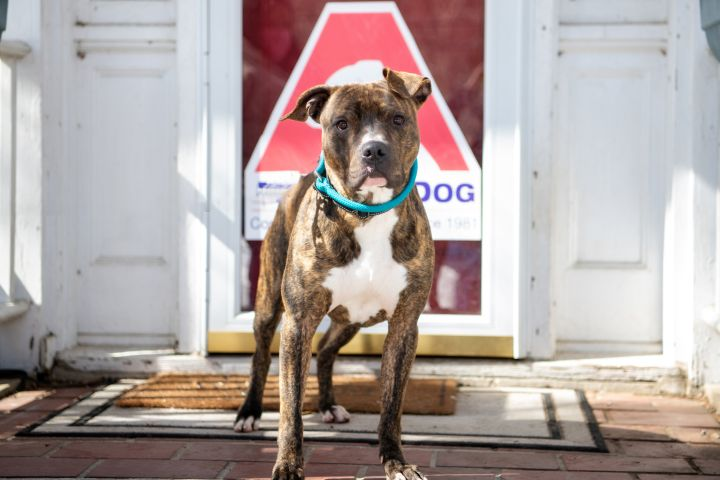 Lafayette, an adoptable Pit Bull Terrier in Armonk, NY