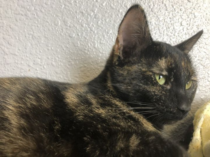 Olive, an adoptable Domestic Short Hair in Jamestown, CA