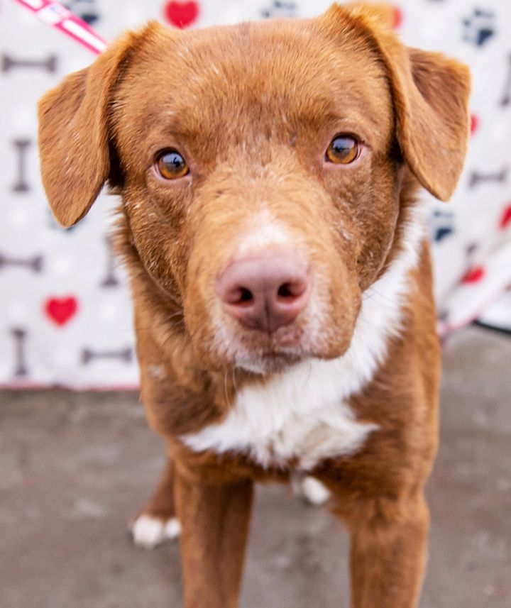 Elton, an adopted Labrador Retriever Mix in Omaha, NE