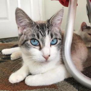 American Beauty Domestic Short Hair Cat