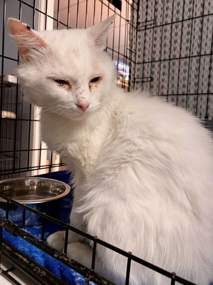 Blizzard, an adoptable Domestic Short Hair in Warwick, RI_image-2