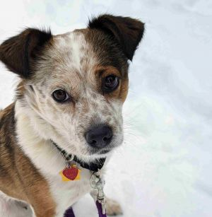 Meet Autumn an adorable 2-year-old mini-Aussie mix She weighs just 26 lbs and has a very active p